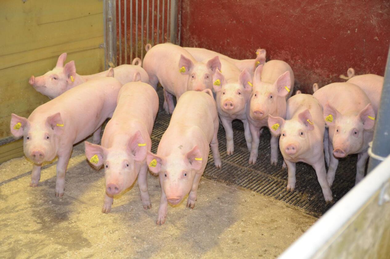 Treffer: Maten skal være sunn, ren, enkel og helst produsert lokalt. Da passer det godt med gris, mener Anne Zondag. (Foto: Bjørnar Frønes)