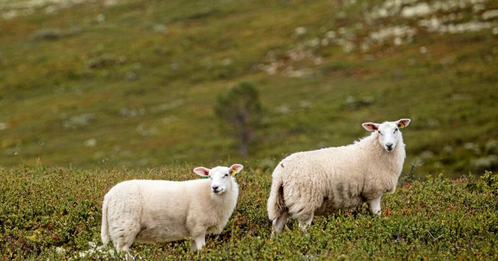 Drøvtyggere som sauen blir ofte en syndebukk i klimaregnskapet, men det finnes mer enn én måte å telle en sauefjert på, skriver kronikkforfatterne. Foto: Paul Kleiven/NTB Scanpix