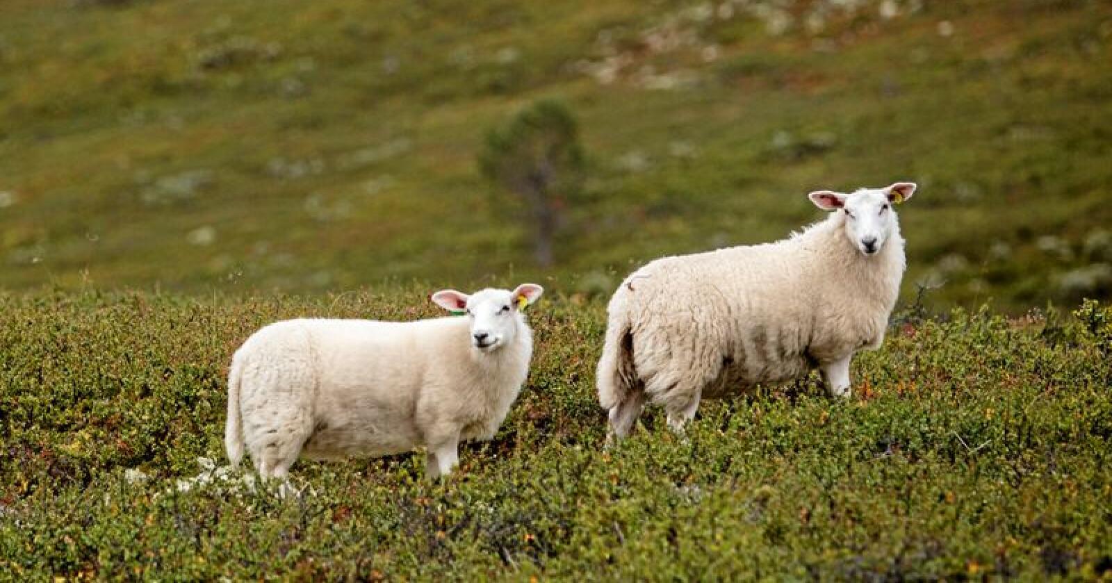 Sauer på beite - et klimaproblem? Foto: Paul Kleiven / NTB scanpix