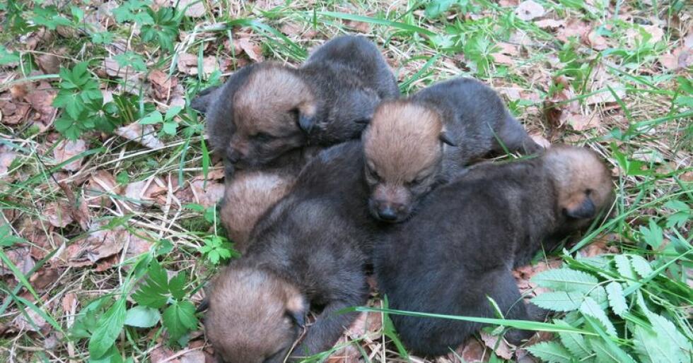 Disse fem ulvevalpene ble funnet av turgåere i Østmarka. Foto: Statens naturoppsyn