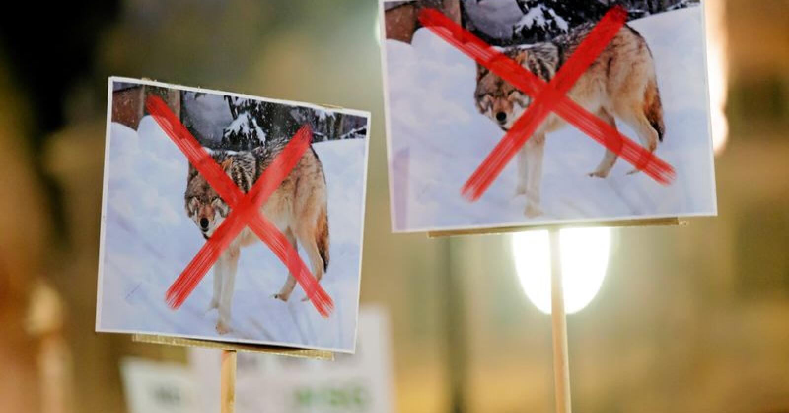 Ulven skaper engasjement. Foto: Cornelius Poppe / NTB Scanpix