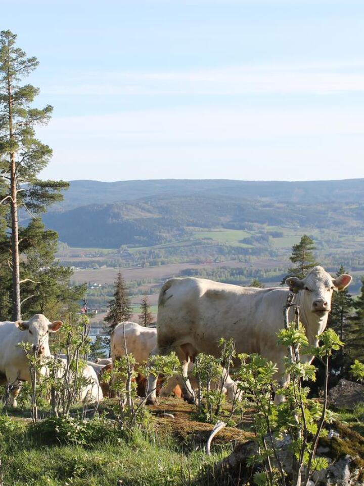 LITT UNDER: Fôringa gjennom vinteren har betydning for beitetida og tilveksten, og bonden bør tenke på hva slags hold dyra er i når de slippes. Foto: Marit Glærum