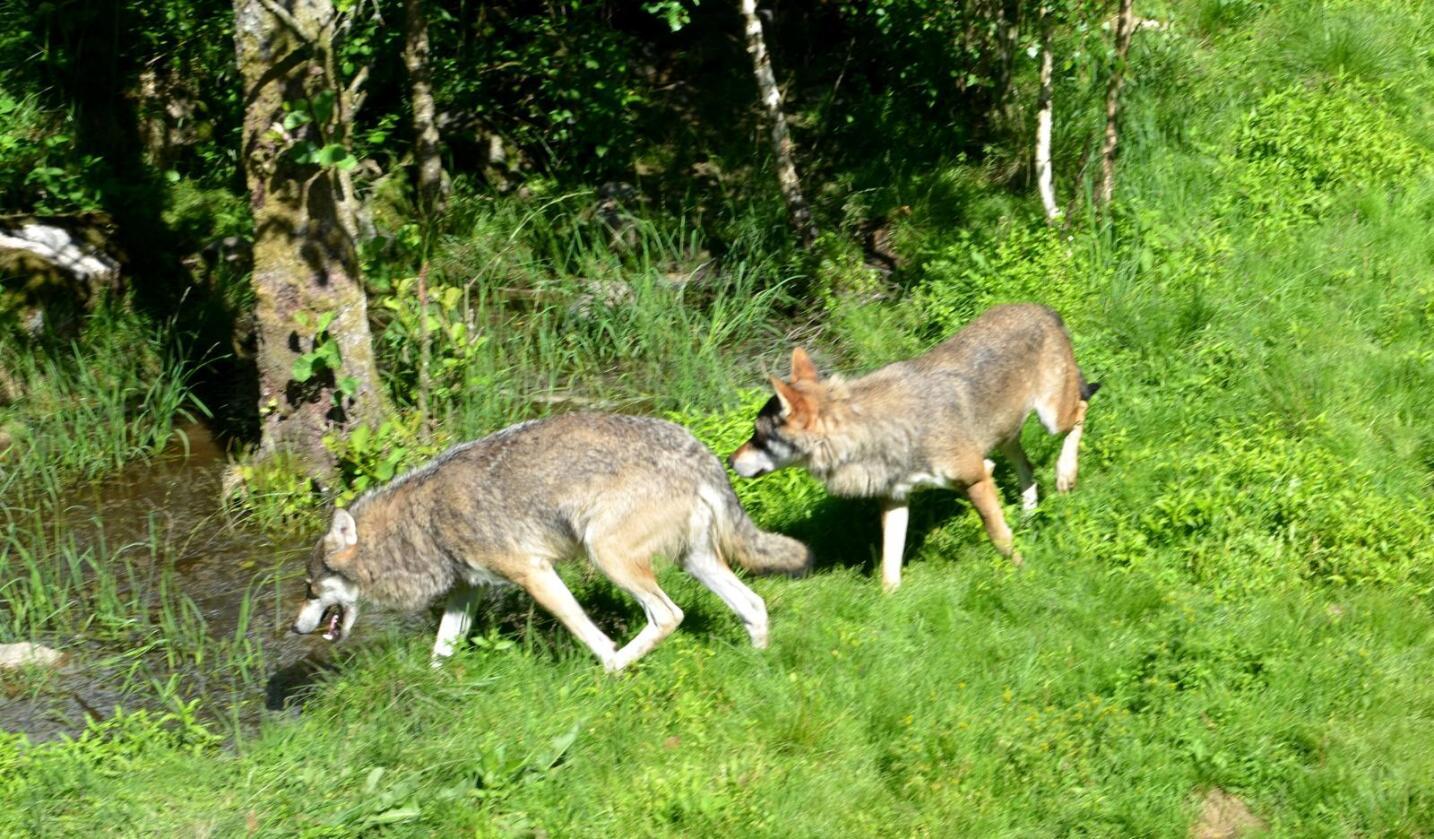 ANGREP: To kalver ble revet opp av ulv i Sverige. (Illustrasjonsfoto: Tor Jostein Sørlie)