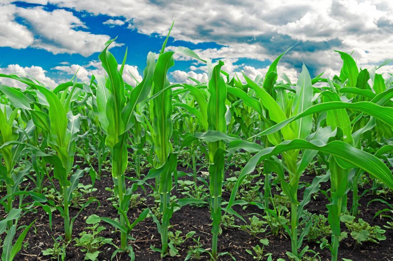GMO: USA er verdens største produsent av mais. Størstedelen av maisen, hele 90 prosent, er genmodifisert. Foto: Colourbox