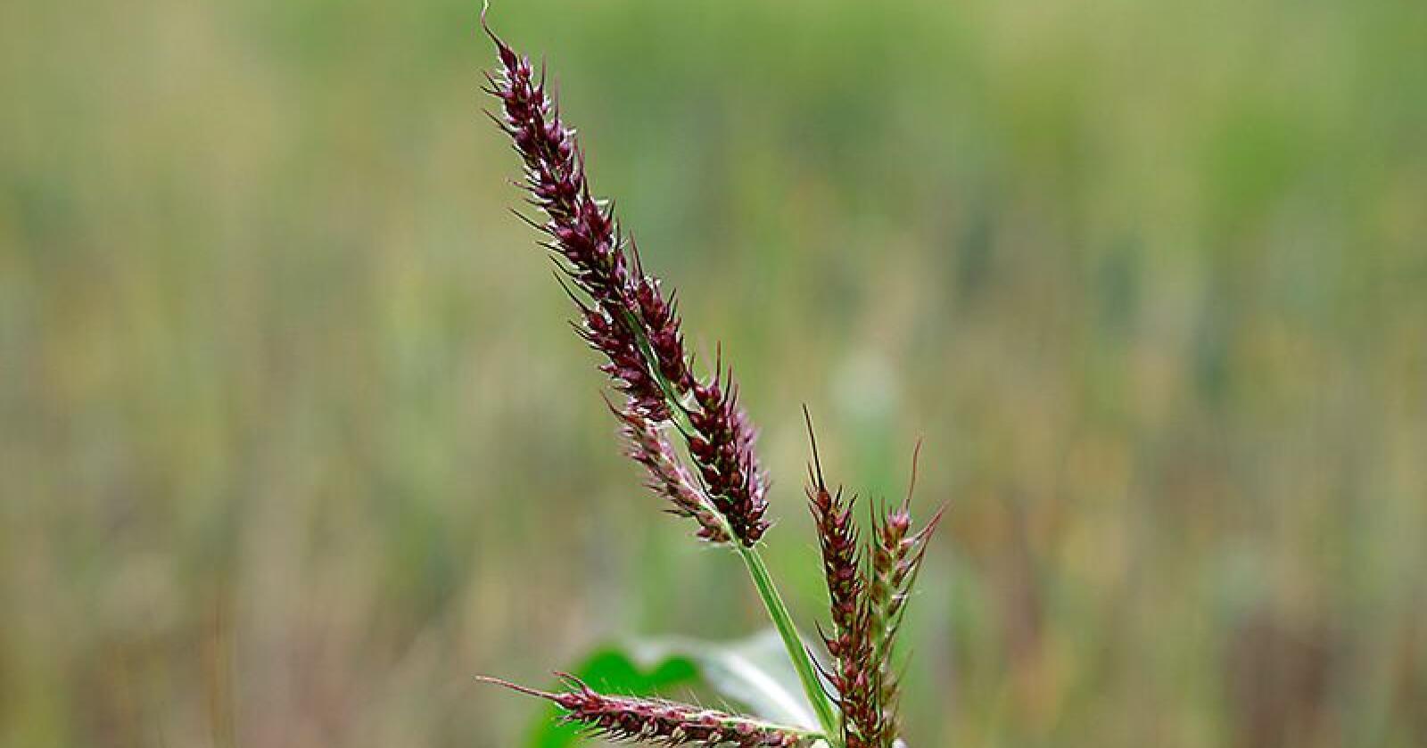 Hønsehirse (Echinochloa crus-galli) øker i utbredelse og er mange steder nå et problemugras i flere kulturer. Regelverket skal hindre spredning av floghavre, hønsehirse og andre frøoverførte sjukdommer. (Arkivfoto)