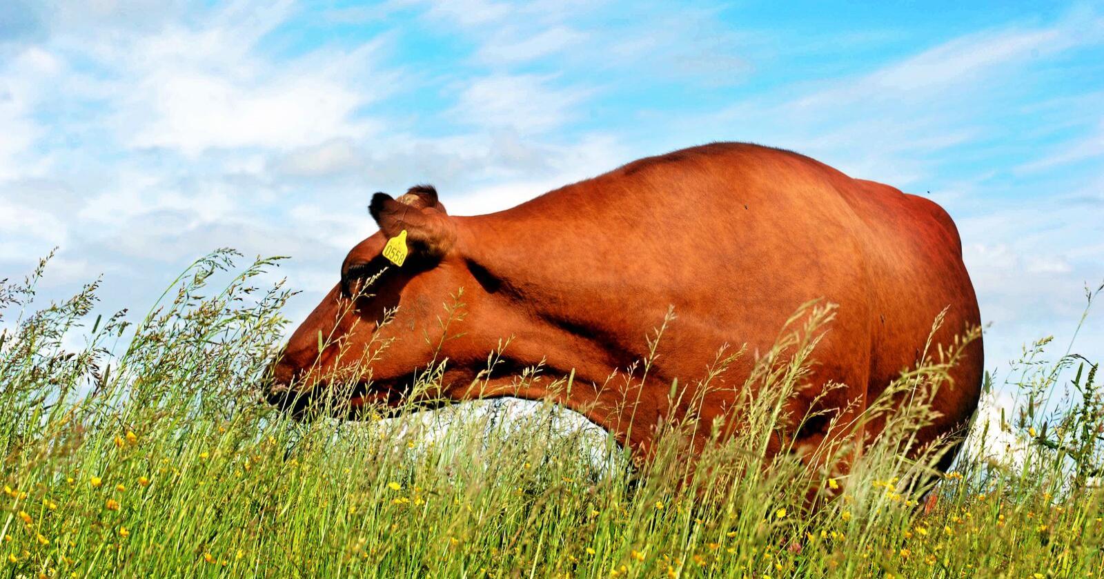 Naturviterne mener det er feil å ofre kua for å kutte utslipp i Norge. Foto: Siri Juell Rasmussen