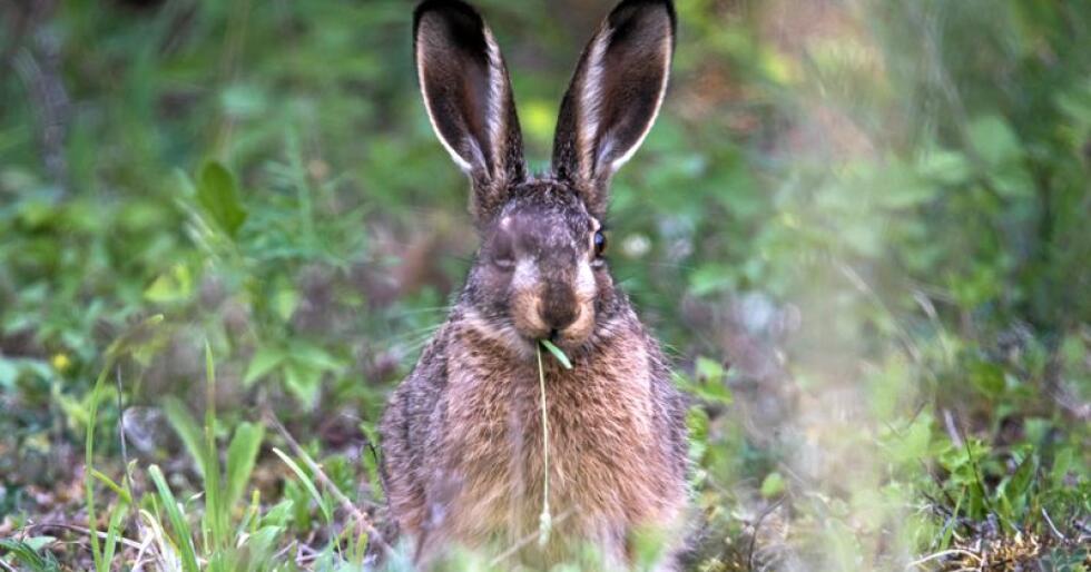 Harepest kan smitte fra flere gangere, i tillegg til haren. Foto: Sten-Ake Stenberg/Mostphotos