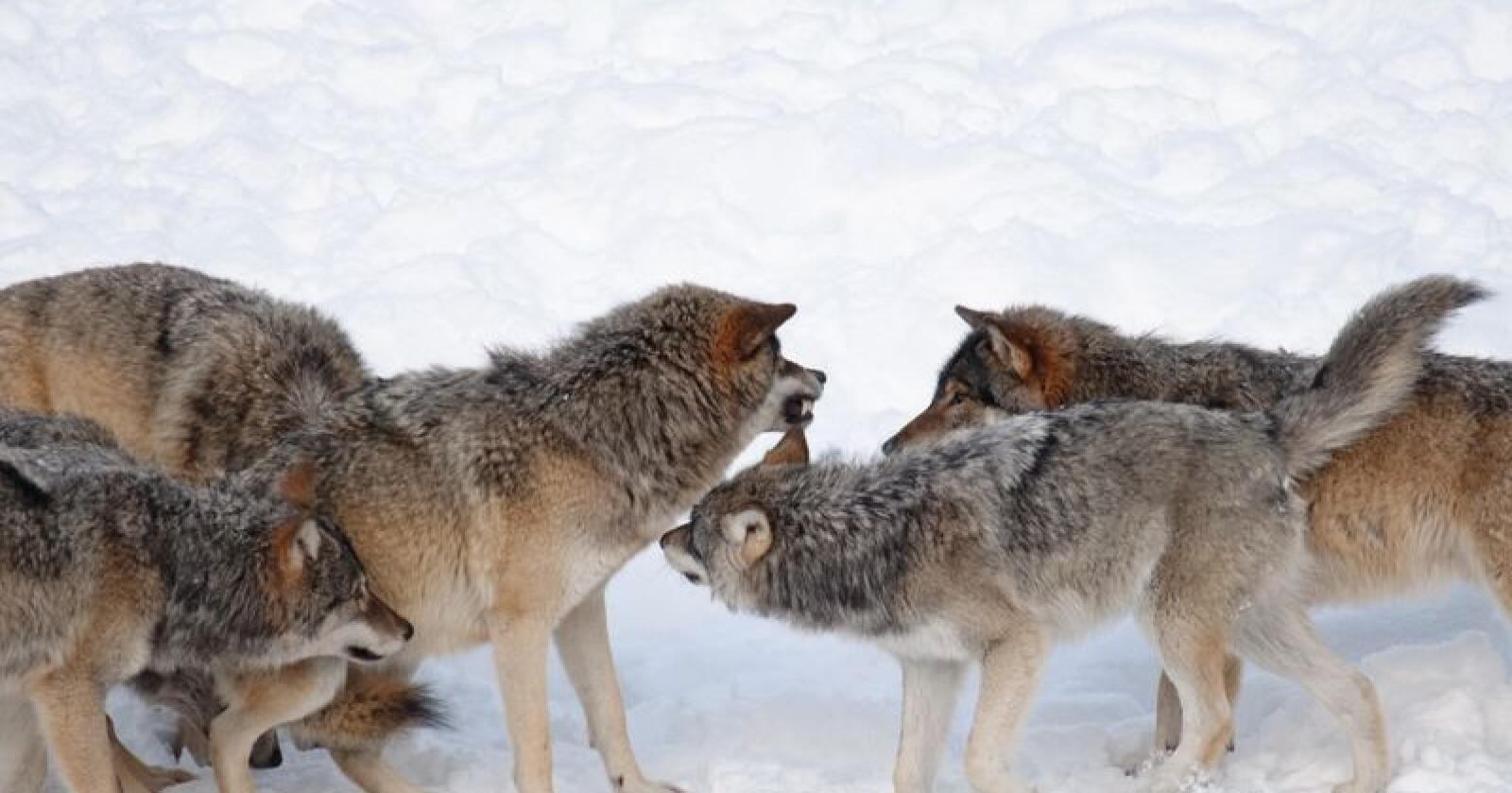 Rekordmange: Det skytes mye ulv fordi det blir stadig mer ulv. Foto: Felix A. Skulstad/Mostphotos