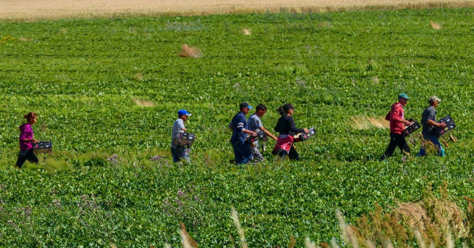 Nylig var vi kontakt med flere enn 20 sesongarbeidere som ble utnyttet på én og samme gård. De er alle fra land utenfor EØS, og er ekstra sårbare, skriver Anna-Sofie Ekendahl-Dreyer. Illustrasjonsfoto: Mostphotos