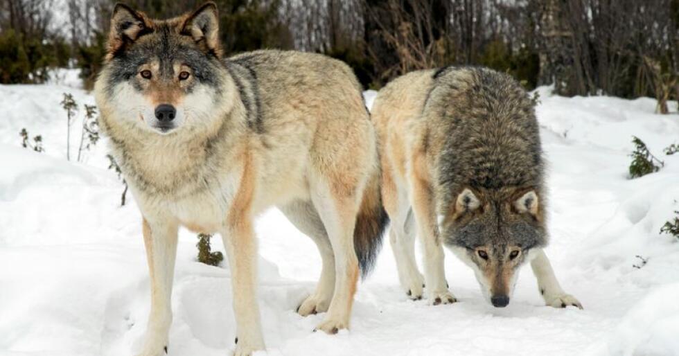 Det er stor variasjon i hvordan folk opplever møter og andre erfaringer med ulv, skriver kronikkforfatterne. Foto: Heiko Junge / NTB scanpix