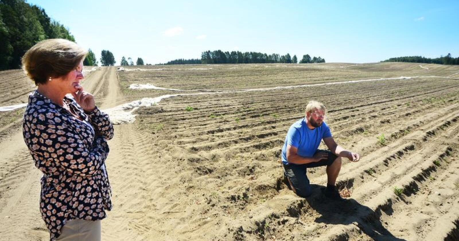 Det er ikke mye gulerøtter som vokser med så lite vann som har kommet i sommer. Foto: Siri Juell Rasmussen.